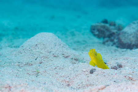 Yellow prawn goby in the nest