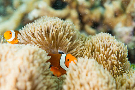 Anemonefish lives in sea anemone