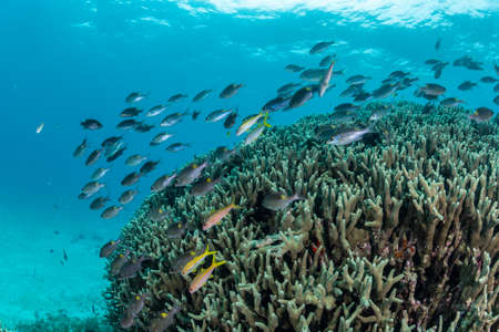 School of Goldlined sea bream Stockfoto