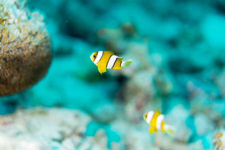 The School of juvenile anemonefish