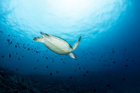 Green sea turtle swimming far away