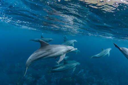 Dolphins inhabiting Mikurajima in Tokyo, Japan 版權商用圖片