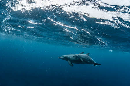 A school of dolphin in Mikura Island 版權商用圖片