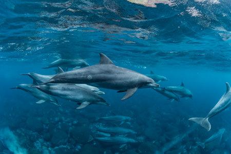 Dolphins living in Mikurajima