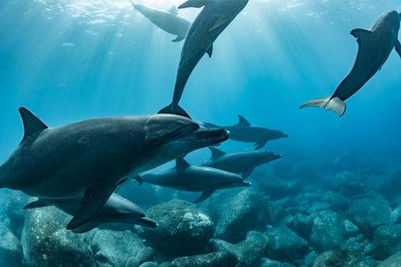 Indian Ocean Bottlenose Dolphin in Mikura Island,Japan