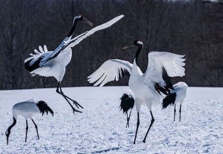 Japanese crane Фото со стока