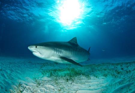 Tiger shark Reklamní fotografie - 45812977