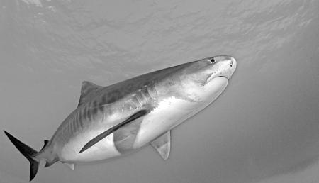 dangerous reef: Tiger shark