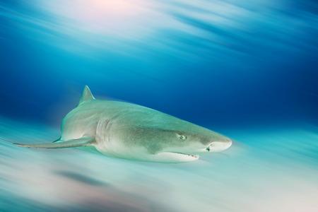 Lemon shark Reklamní fotografie - 49704701