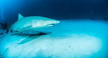dangerous reef: Lemon shark
