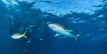 dangerous reef: Caribbean reef shark