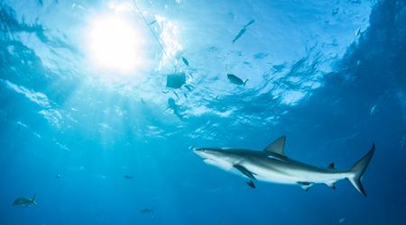 Caribbean reef shark Reklamní fotografie - 49704820