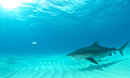 Tiger Shark Reklamní fotografie - 49704825
