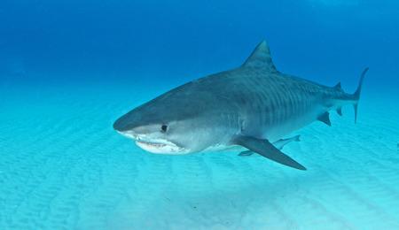 Requin tigre  Banque d'images - 49705020