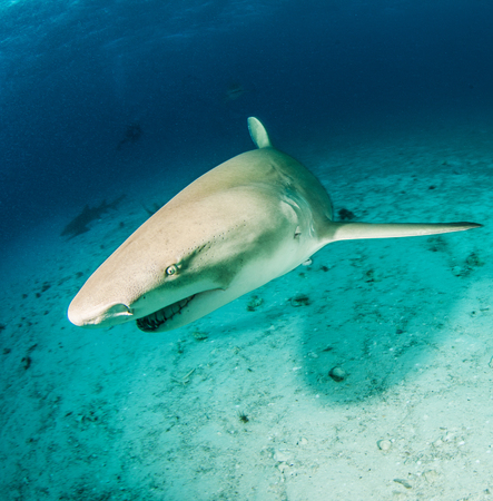 shark mouth: Lemon shark