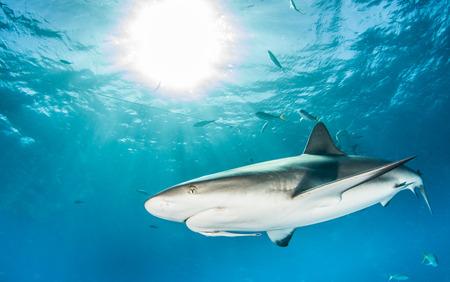 arrecife: Tiburón Caribe  Foto de archivo