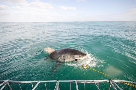 white shark: Great White Shark