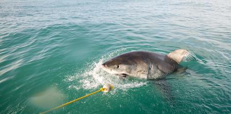 dangerous reef: Great White Shark