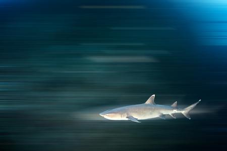 tip: White tip reef shark Stock Photo