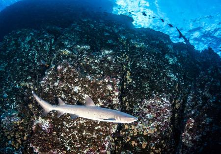 dangerous reef: White tip reef shark Stock Photo