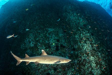 White tip reef shark Reklamní fotografie