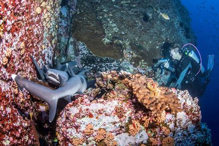 tip: White tip reef sharks
