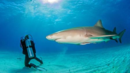 Lemon shark with scuba diver Reklamní fotografie - 61189446