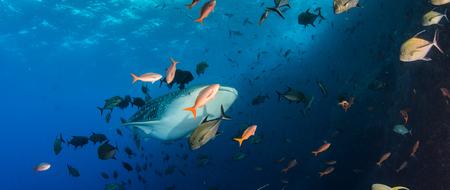 whale shark: Whale shark
