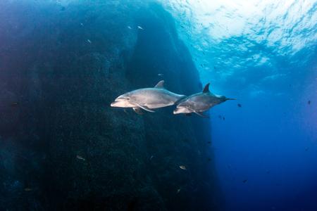 bottlenose: Bottlenose Dolphin