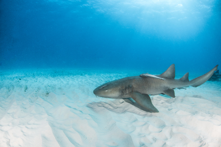 Picture shows a Nurse shark at the Bahamas Stock Photo