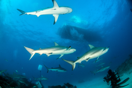 Picture shows a Caribbean reef shark at the Bahamas Reklamní fotografie