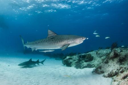L'image montre un requin tigre à Tigerbeach, Bahamas