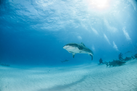 Picture shows a Tiger shark at Tigerbeach, Bahamas