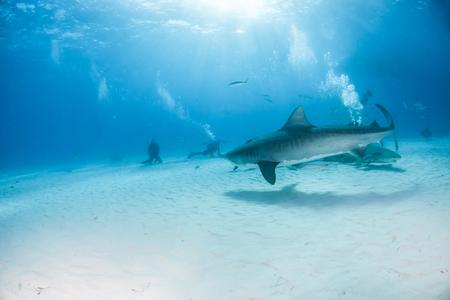 Picture shows a Tiger shark at Tigerbeach, Bahamas