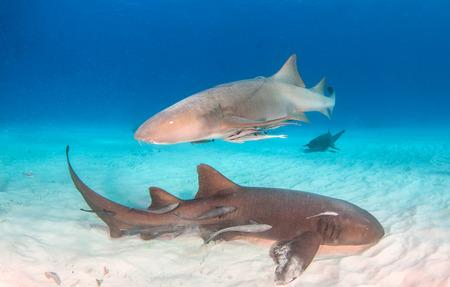 Picture shows a Nurse shark at the Bahamas Reklamní fotografie