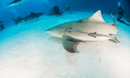 Picture shows a Lemon shark at the Bahamas