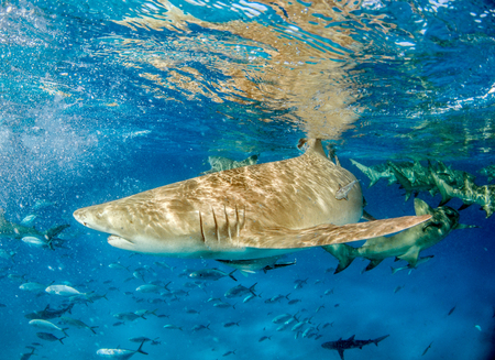Picture shows a Lemon shark at the Bahamas