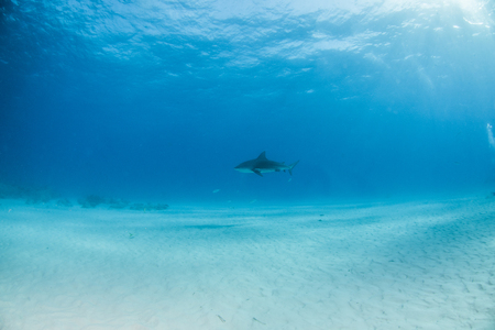 Picture shows a Bulls shark at the Bahamas