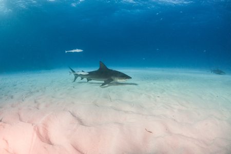 Picture shows a Bulls shark at the Bahamas Reklamní fotografie - 118981773