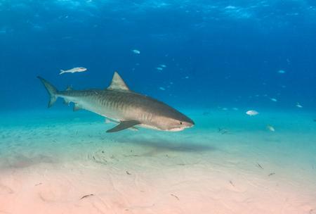 Picture shows a Tiger shark at Tigerbeach, Bahamas Reklamní fotografie - 118981785