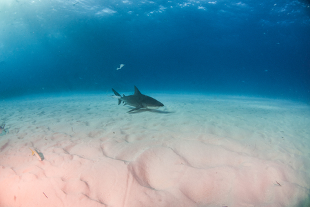 Picture shows a Bulls shark at the Bahamas Reklamní fotografie - 118981790