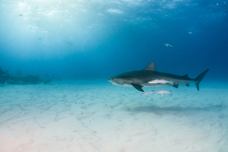 Picture shows a Tiger shark at Tigerbeach, Bahamas Reklamní fotografie - 118981792