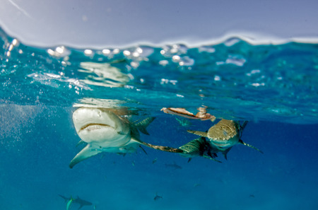 Picture shows a Lemon shark at the Bahamas Reklamní fotografie - 118981795