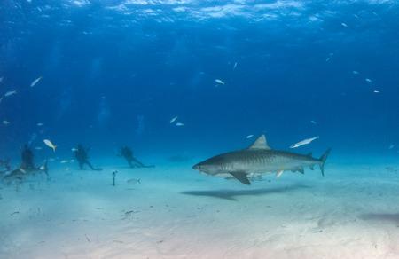 Picture shows a Tiger shark at Tigerbeach, Bahamas Reklamní fotografie - 118981804
