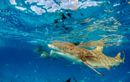Picture shows a Lemon shark at the Bahamas Reklamní fotografie - 118981809