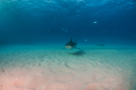 Picture shows a Tiger shark at Tigerbeach, Bahamas Reklamní fotografie - 118981810