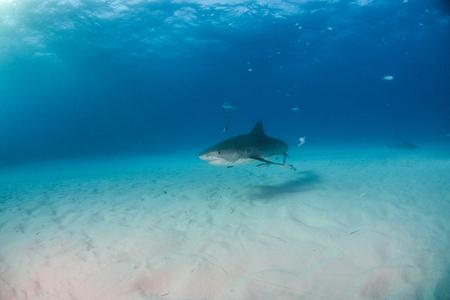 Picture shows a Tiger shark at Tigerbeach, Bahamas Reklamní fotografie - 118981815