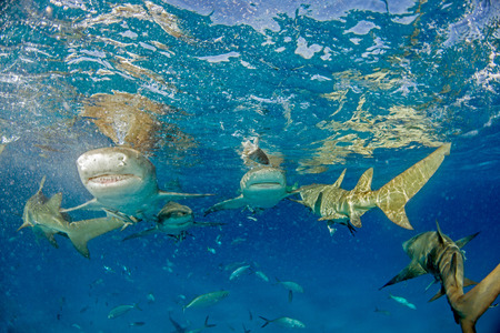 Picture shows a Lemon shark at the Bahamas Reklamní fotografie - 118981821
