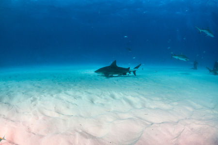 Picture shows a Bulls shark at the Bahamas Reklamní fotografie - 118981829