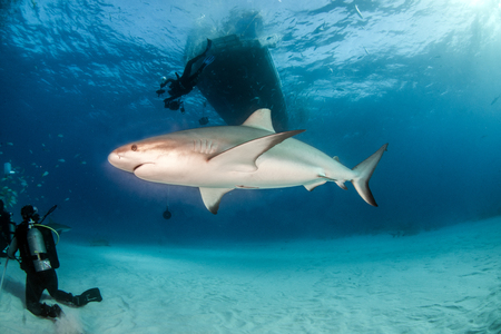 Picture shows a Caribbean reef shark at the Bahamas Фото со стока